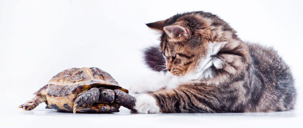 kissa_ja_kilpikonna